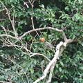 柿を食べに来たヒヨドリ
