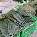 Photos: びわの葉の収穫