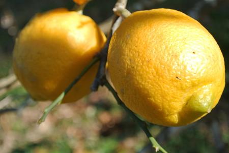 四季なりレモン