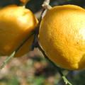 Photos: 四季なりレモン