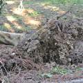 Photos: 強風で倒れたびわの木
