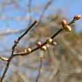写真: 梅の蕾