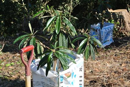 びわの苗木の植え付け