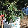 Photos: びわの苗木の植え付け