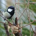 Photos: カマキリの巣とシジュウカラ