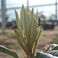 Photos: ハウスのびわの葉芽