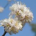 Photos: 桜の開花