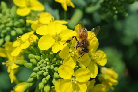 菜花とミツバチ