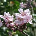 写真: 庭の桃の花