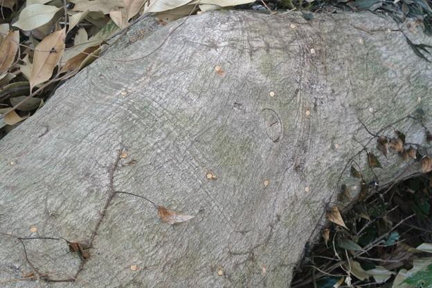 Photos: 駒打ち後の倒木