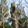 写真: タラノメの新芽