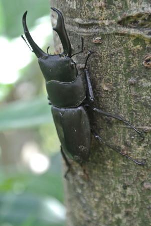 びわの木のコクワガタ