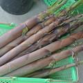 淡竹の収穫