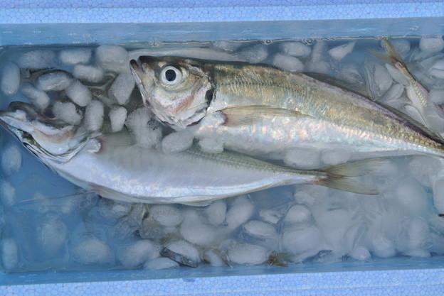 Photos: 釣り堀で釣れたアジ