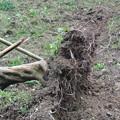 Photos: びわの根の張り方