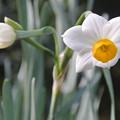 Photos: 水仙の咲き始め