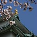 写真: 20080331名古屋城 桜 (2)