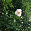 写真: 夏椿が咲くお盆