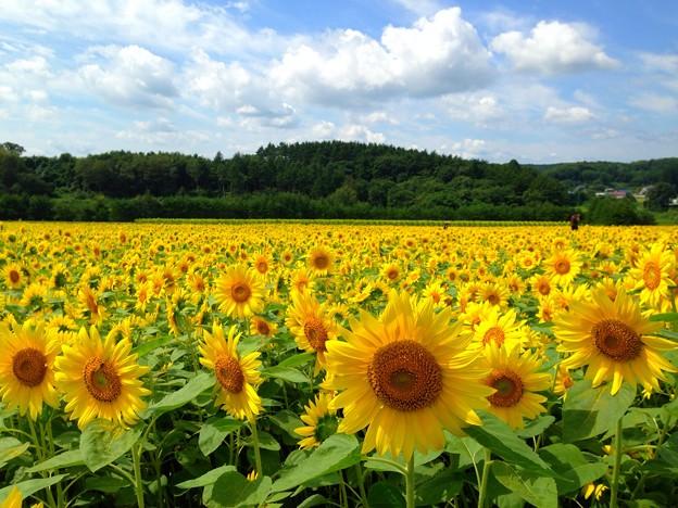 咲いてる!今日のひまわり畑~山の楽校(青森県八戸市南郷区)