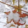 雪中の紅葉-4