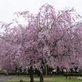 写真: 桜 #337