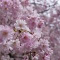 写真: 桜 #338
