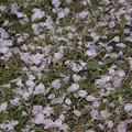 写真: 桜 #339