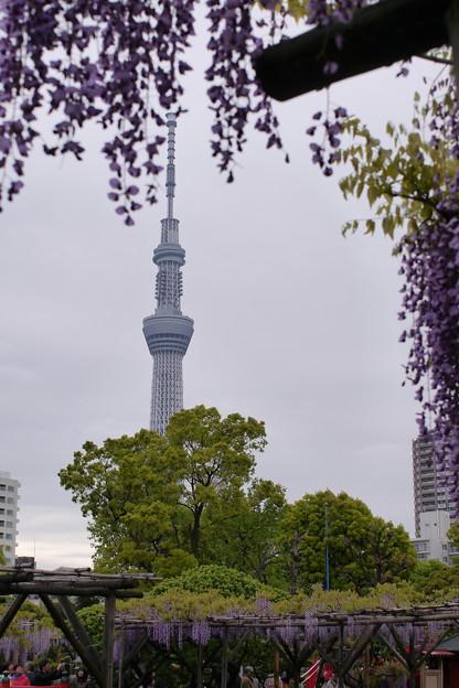 Photos: スカイツリーと藤