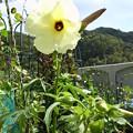 Photos: 花オクラ