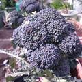 Photos: ブロッコリー栽培4