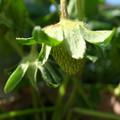 Photos: イチゴ栽培6
