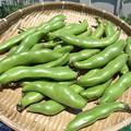 Photos: ソラマメ収穫1