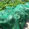 Photos: ブロッコリー栽培1