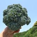 Photos: ブロッコリー収穫1