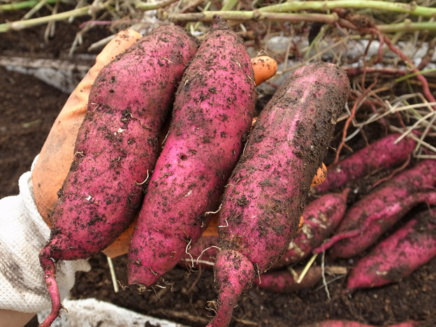 「サツマイモ」の画像検索結果