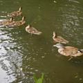 Photos: オシドリの雌と、オシドリの雛達(2)