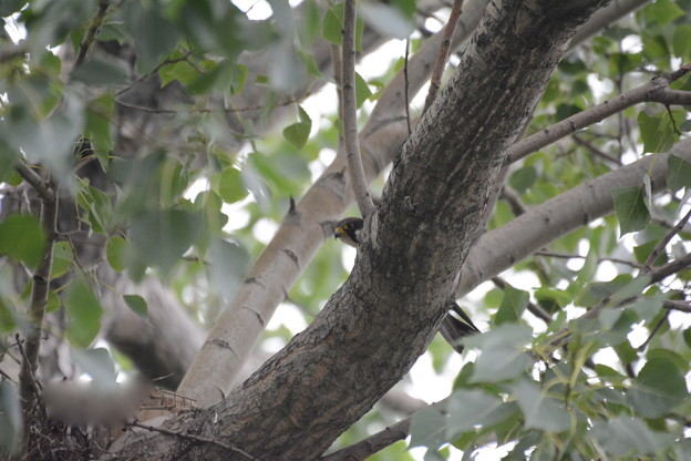 Photos: チゴハヤブサ 雌