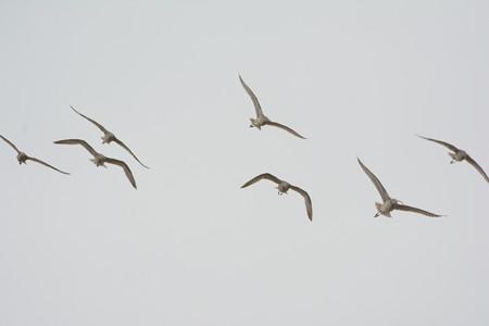 ホウロクシギの群れ、飛翔