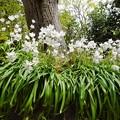 Photos: 教会の庭で咲く
