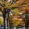 Photos: 紅葉の並木道