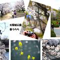 桜の大阪城公園