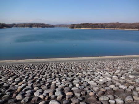 狭山湖の堤防際の水鳥