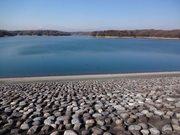 写真: 狭山湖の堤防際の水鳥