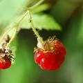 My Raspberries 7-15-12