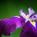 Japanese Iris 7-10-12