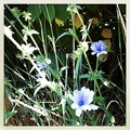 Chicory in Blue 7-22-12