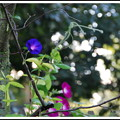 Blue Morning Glory 9-1-12