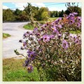 New England Asters in the Parking Lot 9-23-12