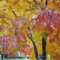 Autumn Purple White Ash