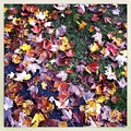 Colorful Maple Leaves 10-6-12